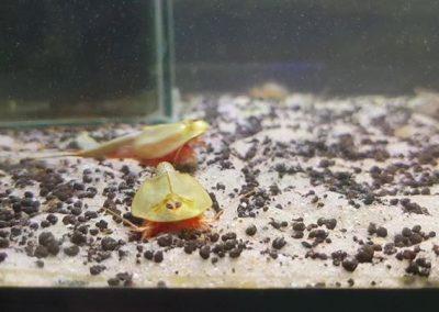 Vortrag: Urzeitkrebse – Triops und Feenkrebse im Aquarium